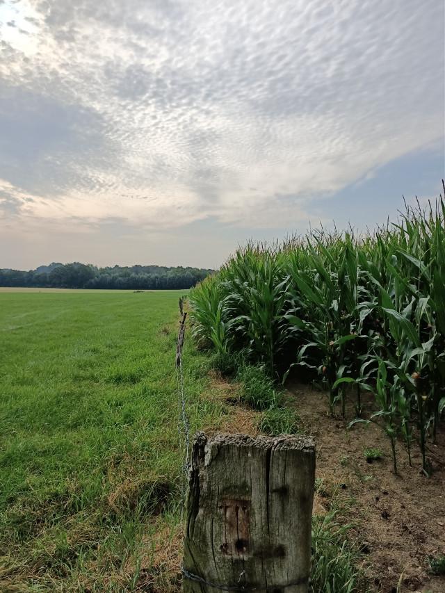 #kinora #cornfield #blueskyandclouds #morningwalk  #freetoedit @picsart @freetoedit