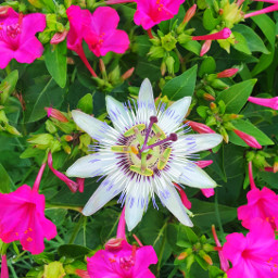 freetoedit flower flowers colorful pink