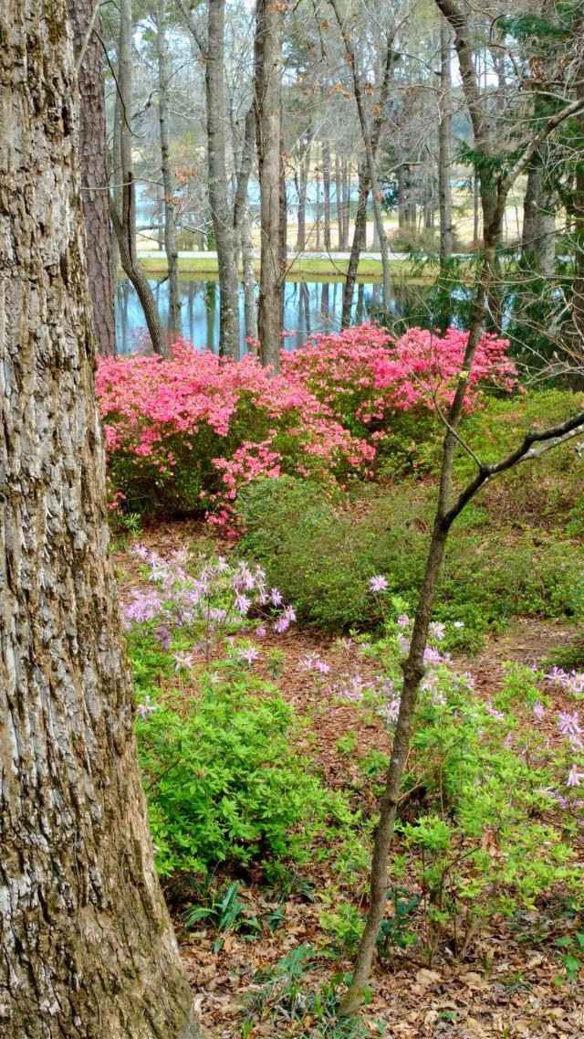 #freetoedit #myphoto #nature #naturelover #garden #colorful #woods #forest #hapoy #happiness #loveit #summer #summervibes #azael #azaeleas #trees #adventure #adventuretime #sun #sunny #summertime #iloveit