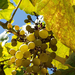 freetoedit grapes bluesky sunlight summer daytime