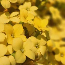 yellow flower beautiful freetoedit pcyellowphotography yellowphotography