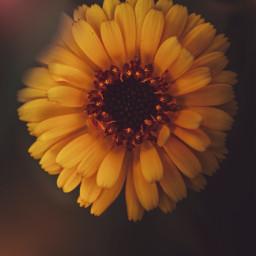 freetoedit flower nature macro naturelover yellow summer heatwave yellowflower magical