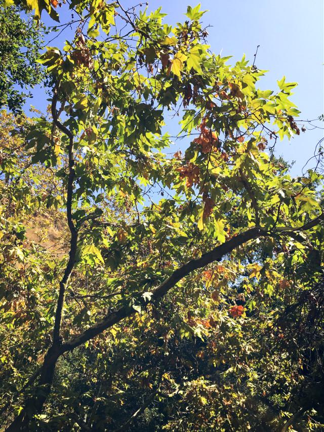 #lookup #treetop #leaves #sunbeam #hikelife #caligirl #hikingadventures #mood #nature #beauty #seeme #mymind #myeye #bchez #photography #edit