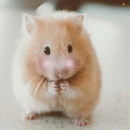 freetoedit hamster cutiepie