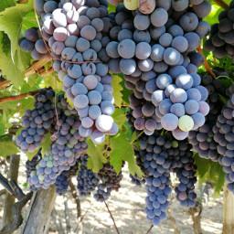 freetoedit photography fotografia grapes grapevines