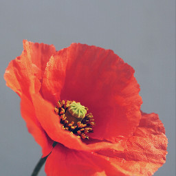 flower simple wildflower nature poppy redpoppy delicate ephemeralbeauty naturesbeauty closeupphotography freetoedit