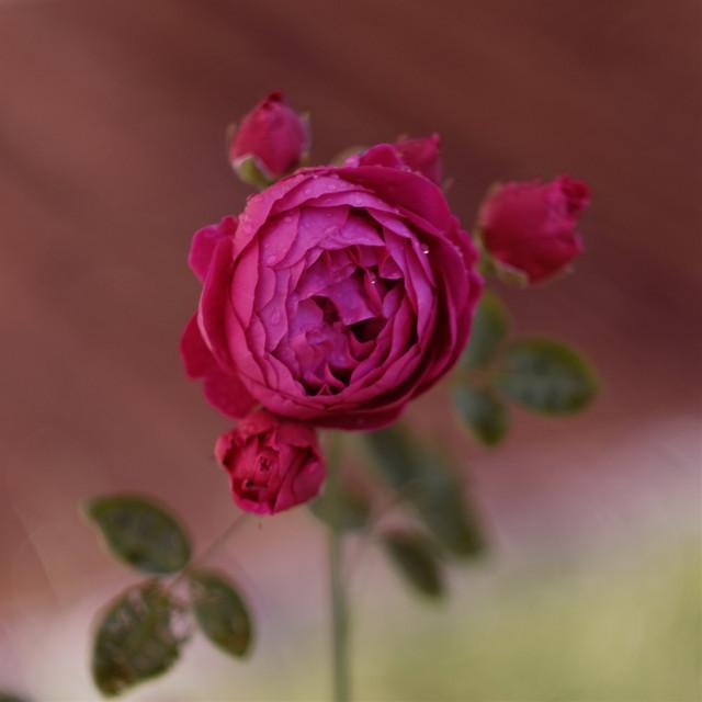 #freetoedit #rose #flower #pink