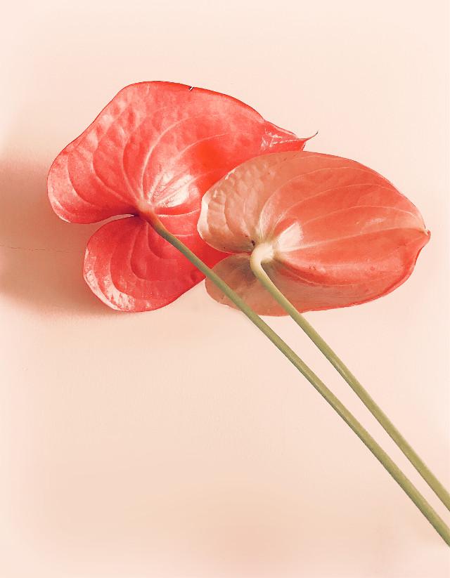 #minimalism #flowers #anthuriums #facingback #naturesbeauty #keepitsimple #lessismore #minimalphotography                                                                                  #freetoedit