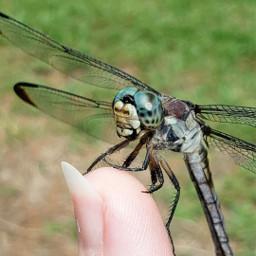 freetoedit dragonflywhisperer onmyfinger nature colorful photography dragonfly myoriginalphoto samsungphotography thingsinmybackyard
