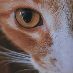 freetoedit photography eye cat eyephotography animal animalphotography cateye vynl orangeeye cats aesthetic aestheticphotography