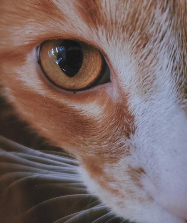🤍loki🤍 • • • •  #freetoedit #photography #eye #cat #eyephotography #animal #animalphotography #cateye #vynl #orangeeye #cats #aesthetic #aestheticphotography