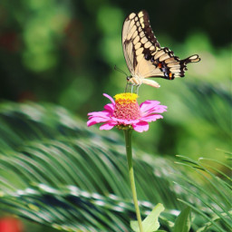 freetoedit butterfly butterflylove vividcolor loving_butterflies nature colorful photography zinnia
