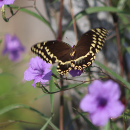 freetoedit nature colorful photography flowers butterfly butterflylove vividcolor beautyinnature canonphotography palamedesswallowtail