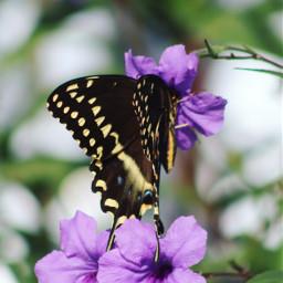 flower butterfly butterflylove vividcolor beautyinnature canonphotography nature colorful purple bokeh bokehbackground pcmybestphoto mybestphoto