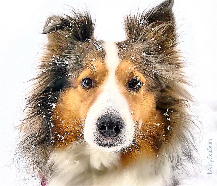 #freetoedit #sheltie #dog #snow #winter #doglovers #photography #travel #kenel # Shetland Sheepdog #scotland #pcmybestphoto #mybestphoto #pcmypetsbestportrait #mypetsbestportrait