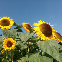 photography flowers sunflower nature mypic freetoedit bluesky