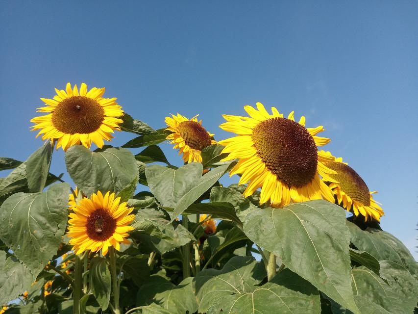 #photography #flowers #sunflower #nature #mypic  #freetoedit #bluesky