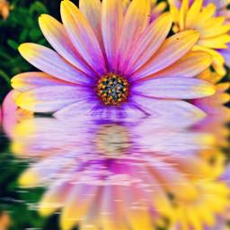 reflejo flores amarillo fotografia reflected freetoedit rcwatermirror watermirror