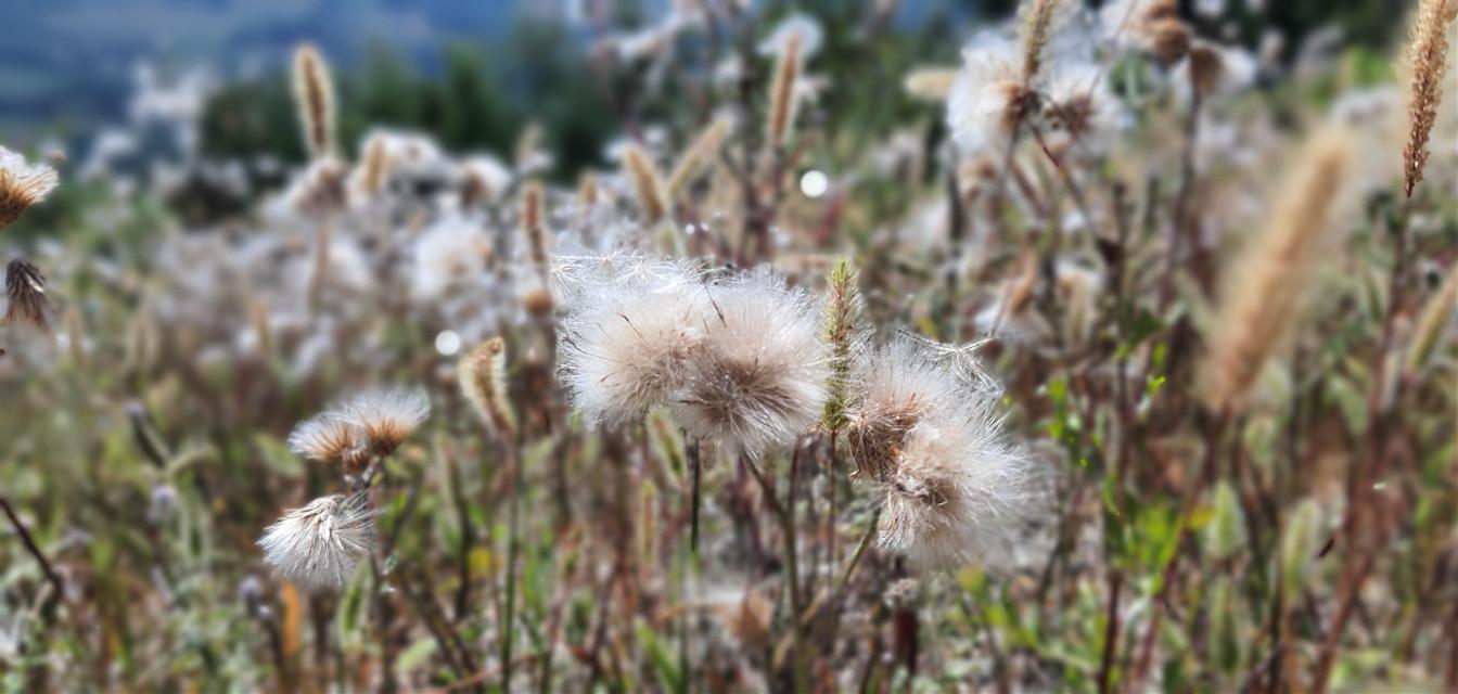 #dentedileone #fiori #phonephotography #summer #italy #italiansummer #italia #photo #flower #flowerpowerlove #flowerpower #neve #comeneve #whiteflower #gita #montagna
