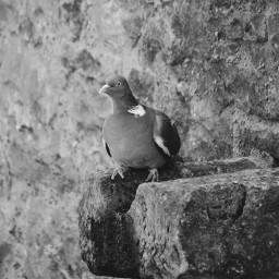 pigeon photography summer nature freetoedit blackandwhite details