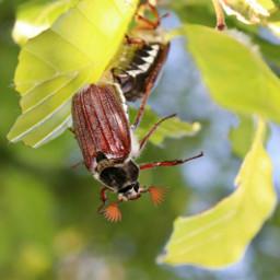 freetoedit nature beetle upsidedown hanging