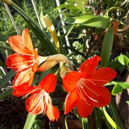 myphoyo amaryllis mio