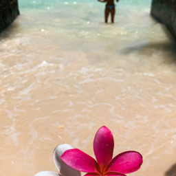 freetoedit hawaii ocean flower plumeria island vacation paradise beach water