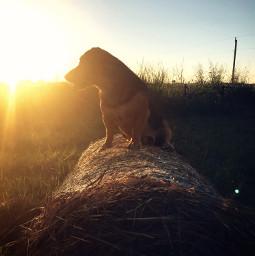 freetoedit dog littledog photography animals petsandanimals pets mutt dogphotography animalphotography sunset sunsetsky sun haybale cute nature naturephotography