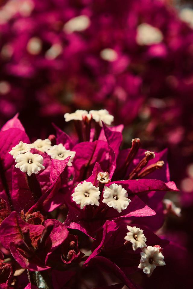 #nature #flowers #closeup #bougainvilleas #luxuriouscolor #naturesbeauty #depthoffield #closeupflowerphotography