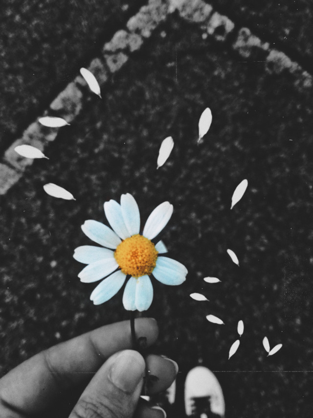 #freetoedit #flower #flores #daisy #daisyflower #petals #petalos #margarita #daisypetals #blackandwhite #byn #blancoynegro