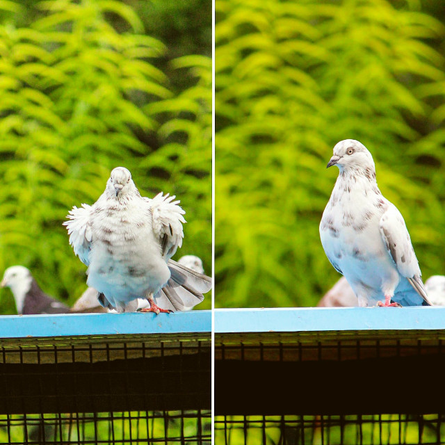 #pigeon #pigeons #bird #g #birds #pigeonsofinstagram #vercin #pigeonlove #pigeonfan #pigeonlife #racingpigeons #birdsofinstagram #taklac #nature #pigeonracing #pigeonlover #tauben #kabootar #duiven #guvercin #photography #pigeonforge #love #ku #birdlovers #palomas #porumbei #taube #animals #bhfyp