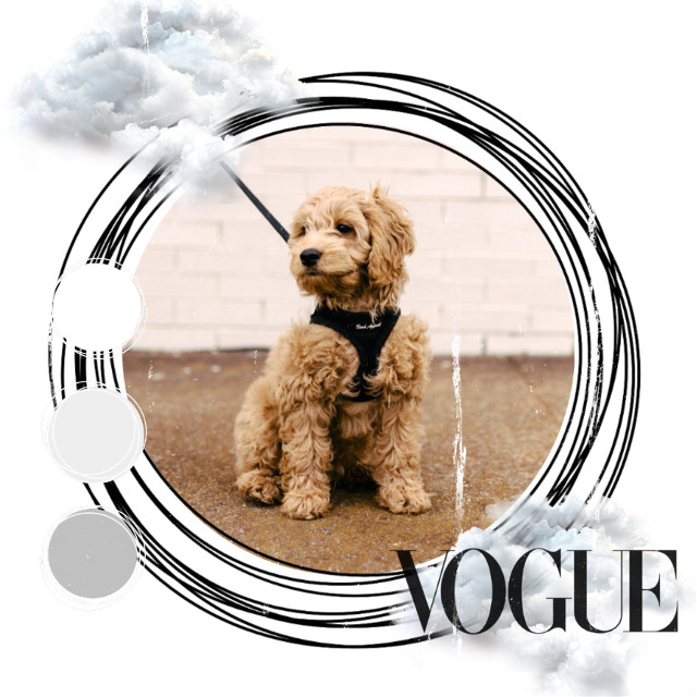 ❤️❤️❤️#dog #cute #goldendoodle im pretty sure its a goldendoodle, but idk if thats true. #freetoedit