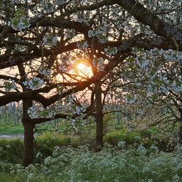 freetoedit flowers flowershoutout sunset sun light sunbeams mood meadow blooming blossom tree nature scenery country evening colors mystical loveit