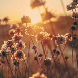 freetoedit thesungoesdown endoftheday atthebeach sunsettime goldenhour nature summersunset warmweather beachdunes wildflowers beachflowers goldenlight naturephotography