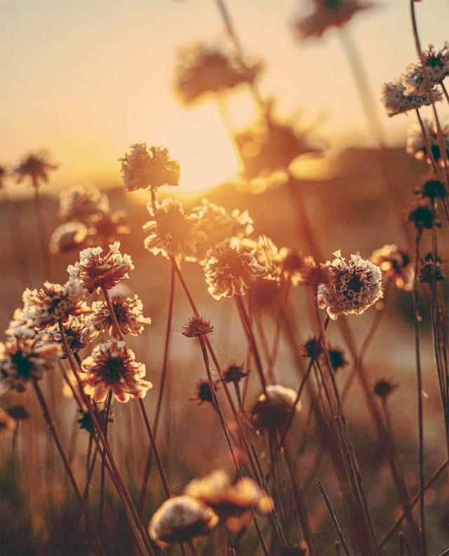 #thesungoesdown #endoftheday #atthebeach #sunsettime #goldenhour #nature #summersunset #warmweather #beachdunes #wildflowers #beachflowers #goldenlight #naturephotography