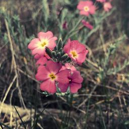 nature beachdunes wildflowers plantsandflowers wildnature freetoedit
