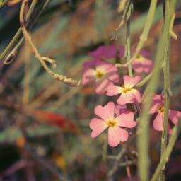 freetoedit nature plantsandflowers flowers wildflowers grass beachdunes beachflowers tinyflowers warmsunnylight lowangleshot depthoffield naturephotography