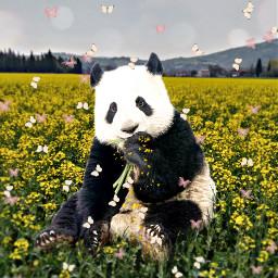 mastershoutout bear panda butterflies flowers petals madewithpicsart ftestickers picsarteffects