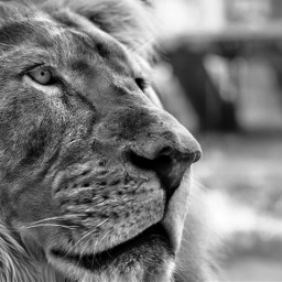 lion petsandanimals feline blackandwhite picsart picsoftheday e-go the e