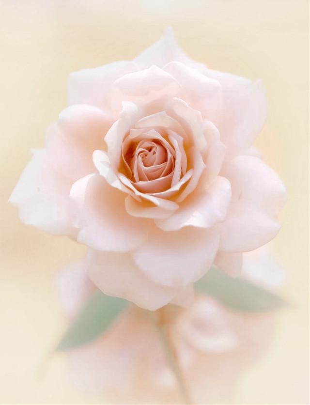 #nature #flower #rose #delicateflower #naturesbeauty #lightaesthetic #mellow_light #softness #softcolors #calmmood #moodyedit #depthoffield #naturephotography                                                                                      #freetoedit
