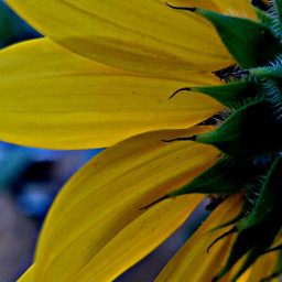 hdr sunflower backside freetoedit