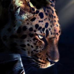 freetoedit jaguar animal lighting closeup