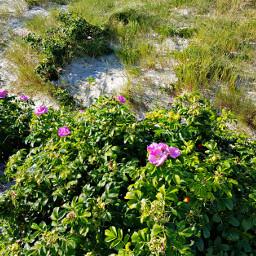 beach dunes rosehips landscape naturephotography freetoedit
