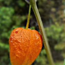 bunia0914 myphoto myoriginalphoto myclick naturephotography garden mygarden summer summertime nature plant plants green orange beautifulday happyday freetoedit