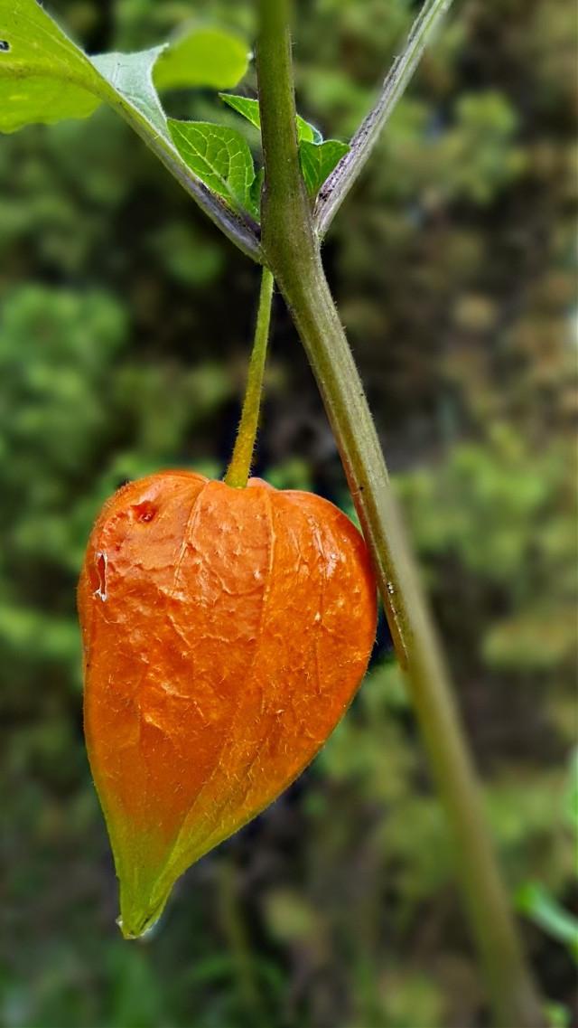 #bunia0914 #myphoto #myoriginalphoto #myclick #naturephotography #garden #mygarden #summer #garden #mygarden #summer #summertime #nature #plant #plants #green #orange #beautifulday #happyday