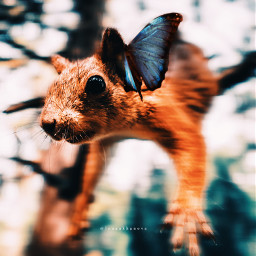 squirrel butterfly