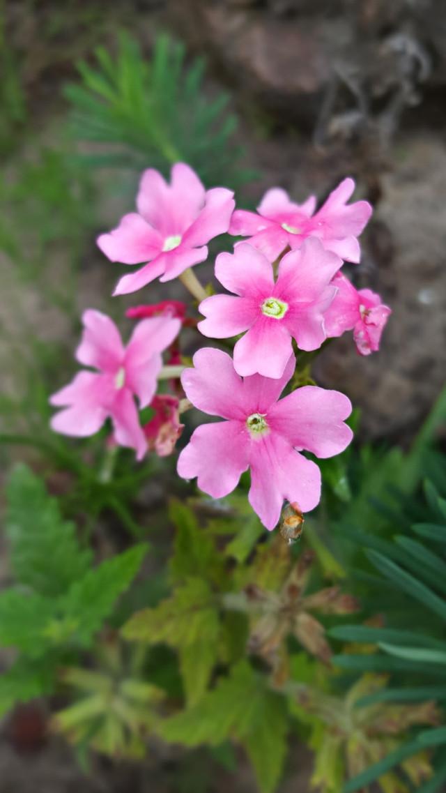 #bunia0914 #myphoto #myoriginalphoto #myclick #naturephotography #garden #mygarden #summer #garden #mygarden #summer #summertime #nature #plant #plants #flowers #green #pink #pinkflower #verbena #beautifulday #happyday