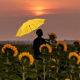 yellow umberella yellowumbrella rain sunflower fyp freetoedit srcyellowumbrella