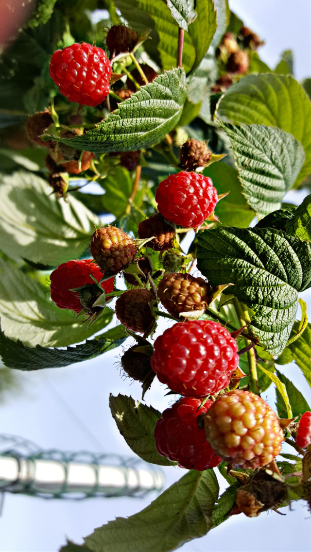#bunia0914 #myphoto #myoriginalphoto #myclick #naturephotography #garden #mygarden #summer #garden #mygarden #summer #summertime #nature #plant #plants #fruits #raspberry #green #red #beautifulday #happyday