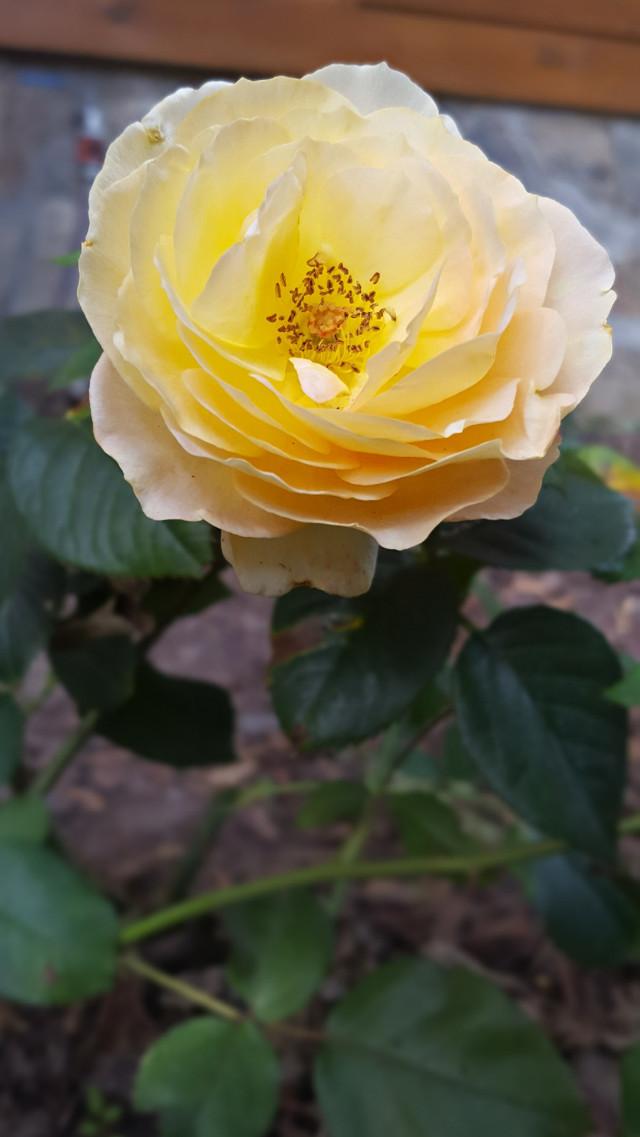 #bunia0914 #myphoto #myoriginalphoto #myclick #naturephotography #garden #mygarden #summer #garden #mygarden #summer #summertime #nature #plant #plants #flowers #rose #green #yellow #yellowflower #yellowrose  #beautifulday #happyday